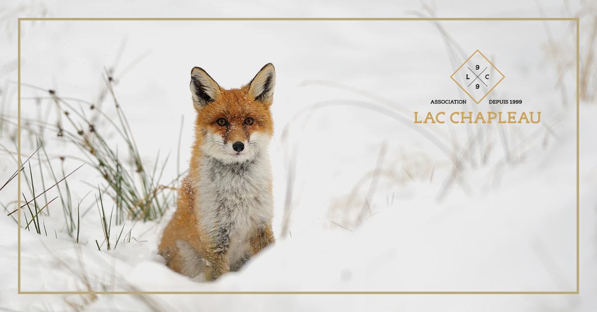 lac-chapleau-renard-roux-hiver